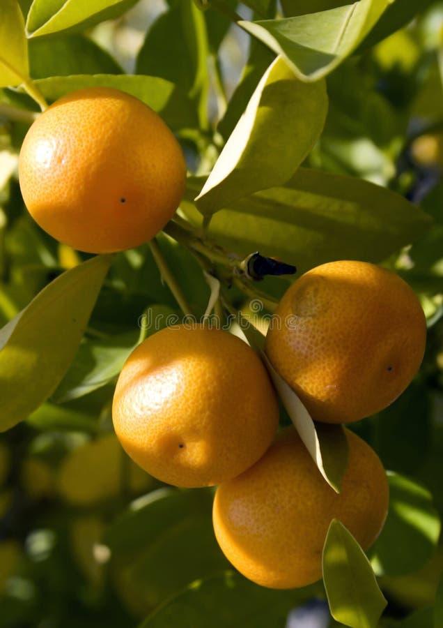 Bos van sinaasappelen royalty-vrije stock afbeeldingen
