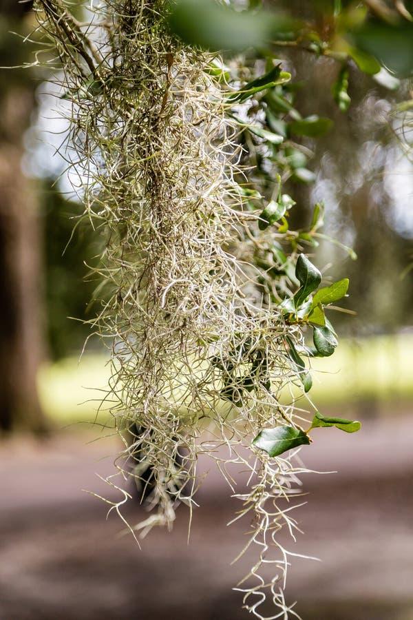 Bos van Spaans Mos in Boom stock fotografie