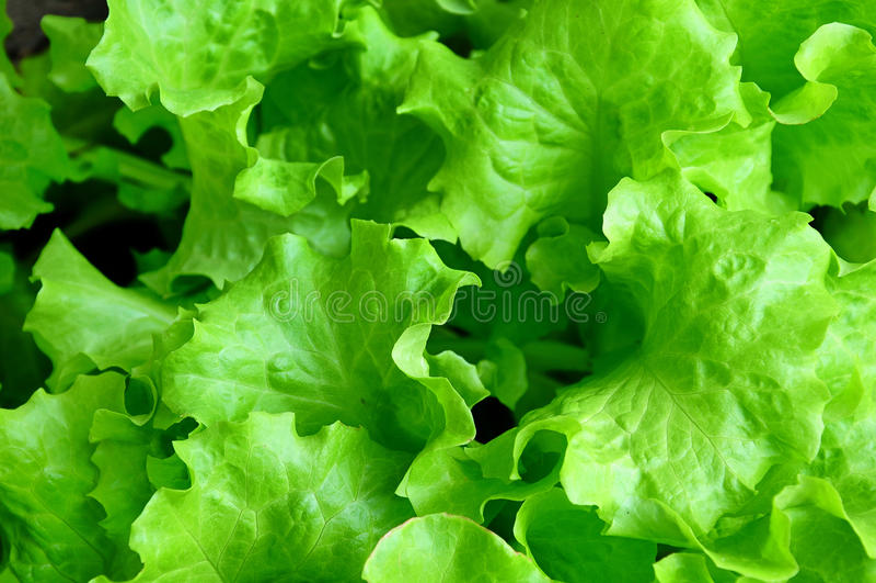 Bos van verse groene salade dichte omhooggaand stock foto