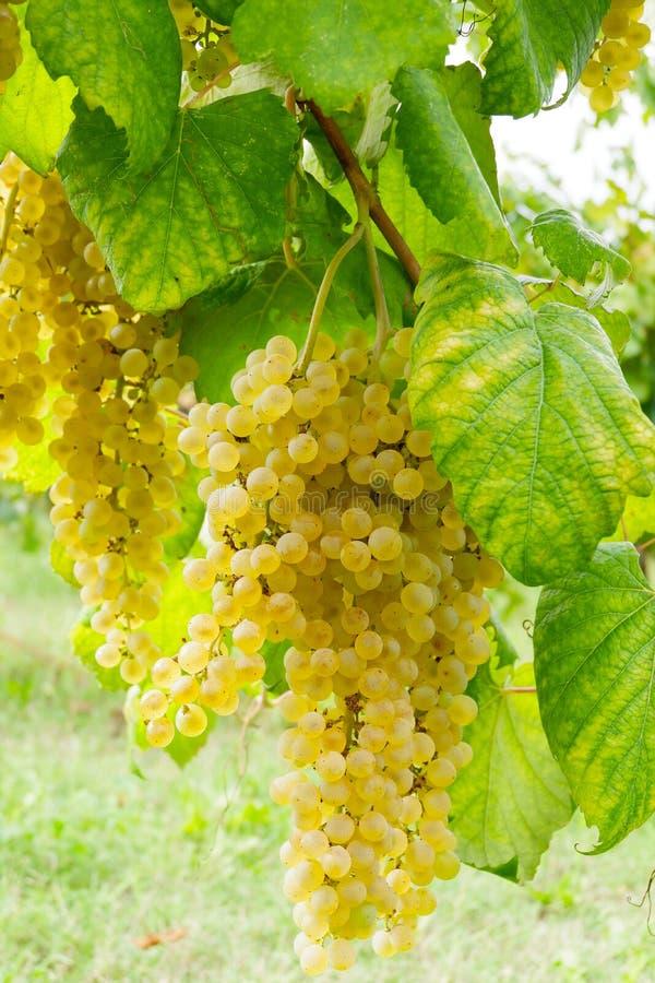 Bos van witte druiven royalty-vrije stock afbeeldingen
