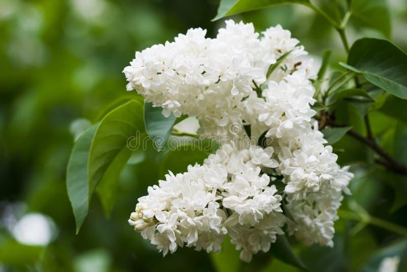 Bos van witte lilac bloem stock afbeelding