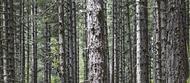 Bos van zeer hoge en buitengewoon parallelle lariksenpijnbomen stock foto's