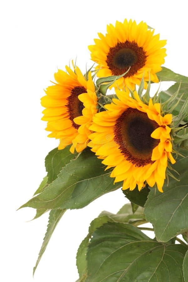 Bos van zonnebloemen royalty-vrije stock afbeelding