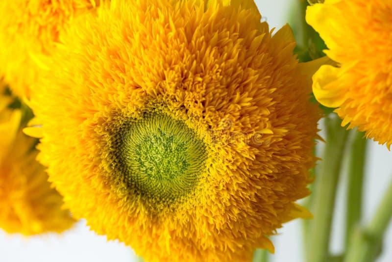 Bos van zonnebloemen Teddy Bear in een glasvaas Een dwergzonnebloeminstallatie met veelvoudige grote gele gouden dubbele bloemen royalty-vrije stock fotografie