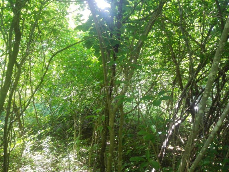 bos, wilde bomen die met de stralen van licht spelen stock foto