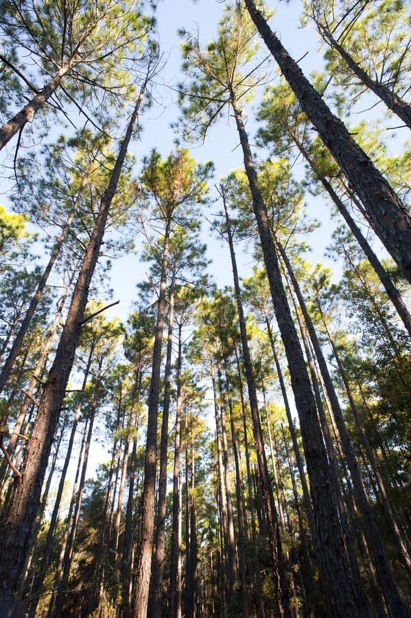 Bosaanplanting van dunne lange bomen stock afbeeldingen