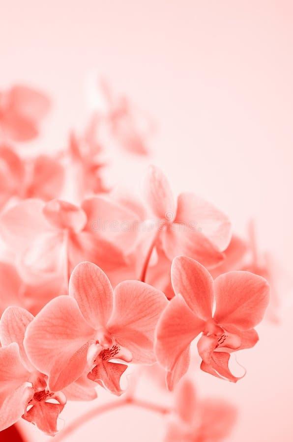 Bosatt korall Phalaenopsisorkidéblomman växer på Tenerife, kanariefågelöar orchids arkivfoton