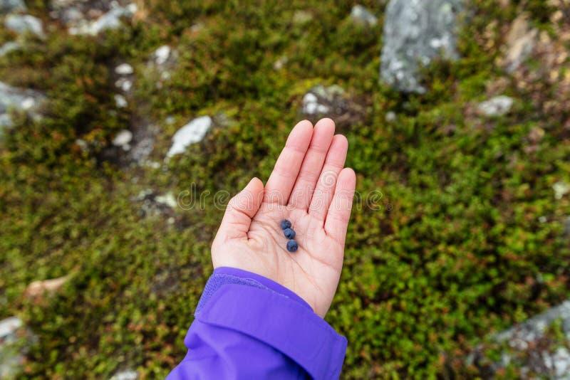 Bosbes het plukken - wilde bosbessen in Alaska, vers natuurlijk fruit in de openluchtaard Vrouwenhand die kleine bessen tonen stock foto's