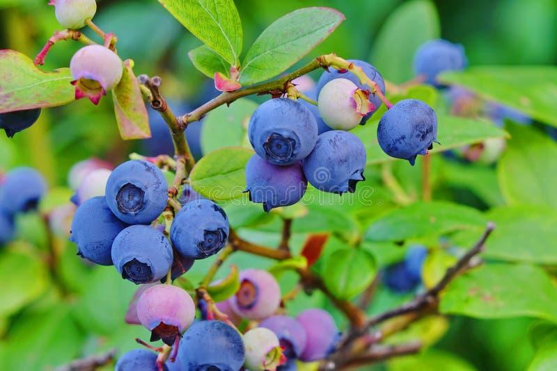 Bosbessen Dwergstruiken met Rijpe die Vruchten in Tuin worden gecultiveerd royalty-vrije stock foto