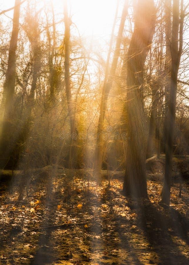 Bosbomen en ochtendzonlicht royalty-vrije stock fotografie