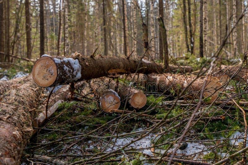 Bosbouw Sluiting van spruce-stammen na het kappen stock foto's