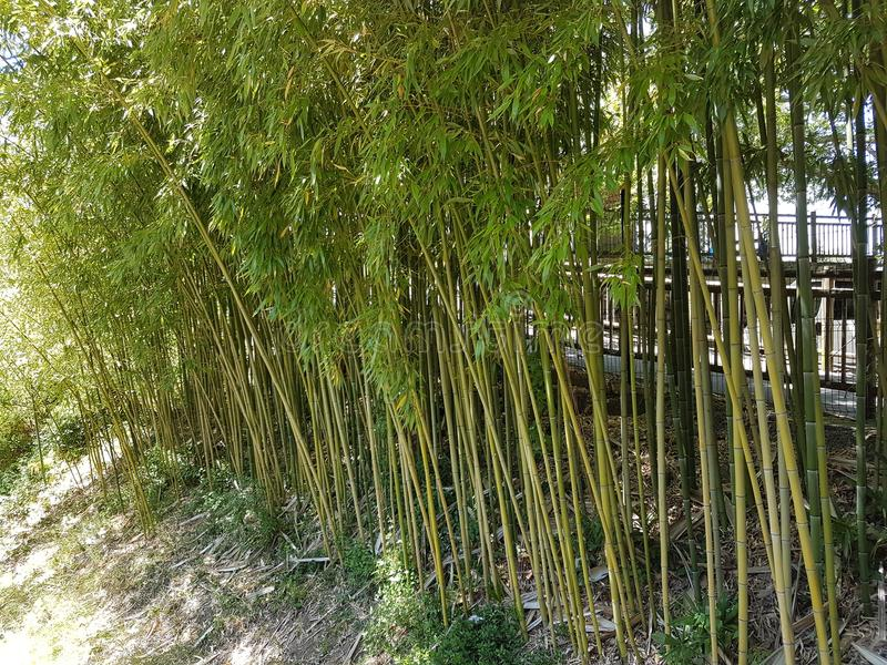 Boschetti di giovane bambù verde Una pianta subtropicale della regione asiatica Fabbricazione di materiale da costruzione Risorse fotografia stock libera da diritti