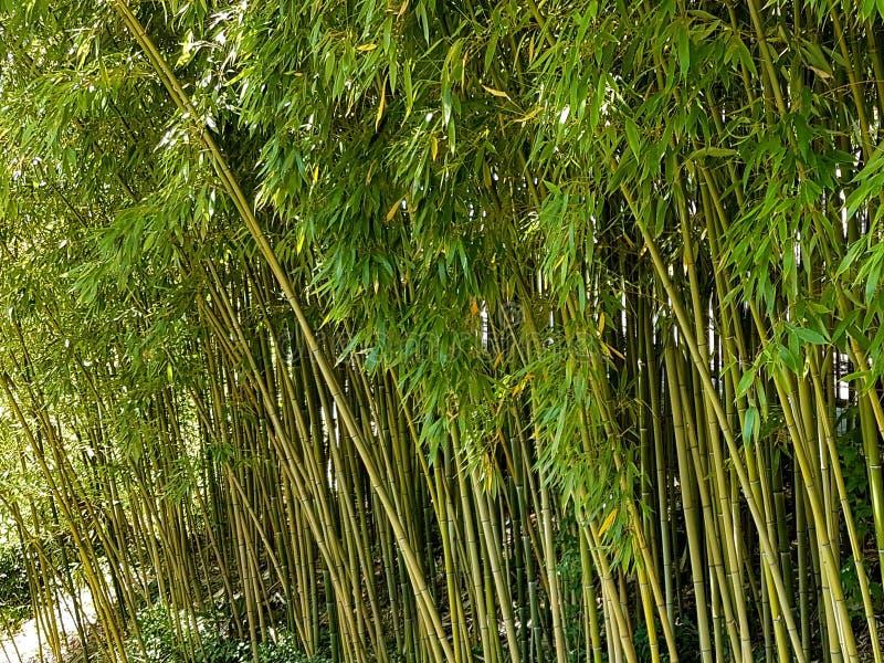 Boschetti di giovane bambù verde Una pianta subtropicale della regione asiatica Fabbricazione di materiale da costruzione Risorse immagine stock