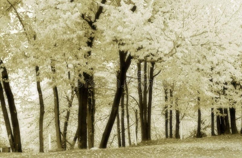 Boschetto 6 dell'olmo del sughero--morbido, in bianco e nero fotografia stock