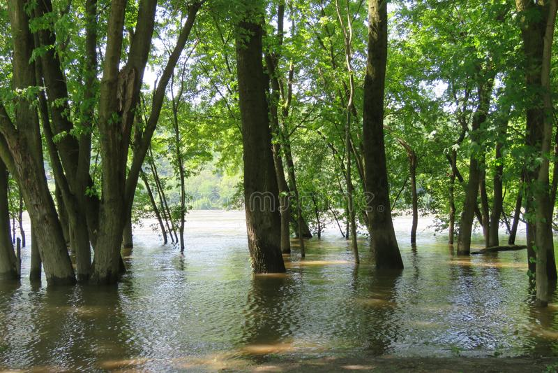 Boschetto degli alberi in fiume sommerso fotografia stock