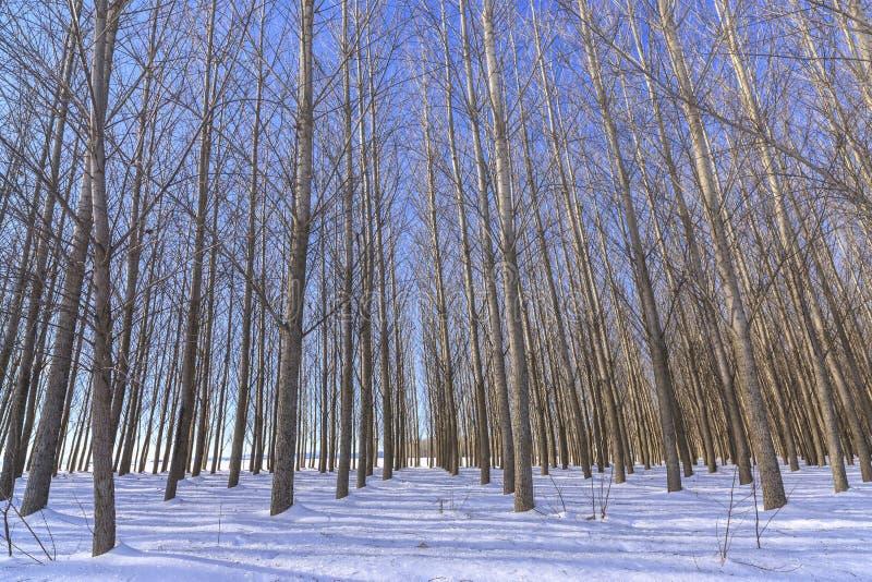 Boschetto degli alberi nudi nell'inverno immagini stock