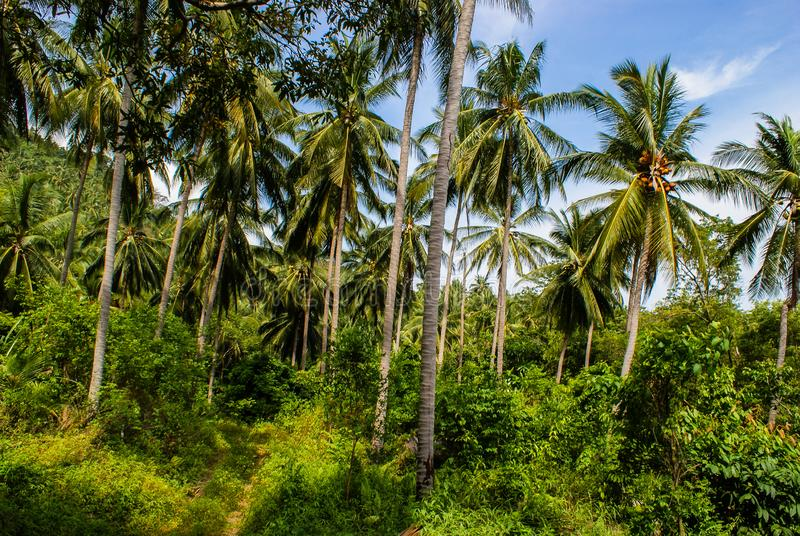Boschetto del cocco sull'isola tailandese tropicale Koh Samui immagini stock