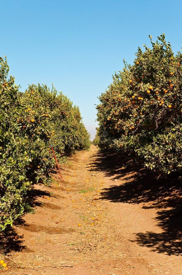 Boschetto del mandarino. fotografie stock