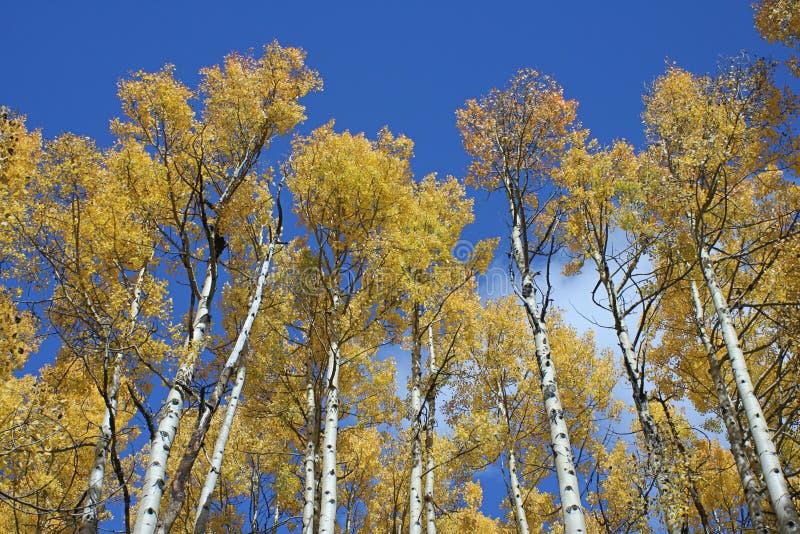 Boschetto dell'Aspen fotografie stock libere da diritti