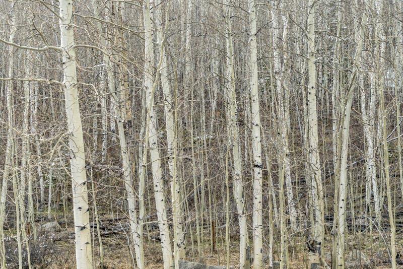 Boschetto dell'Aspen in inverno immagine stock libera da diritti