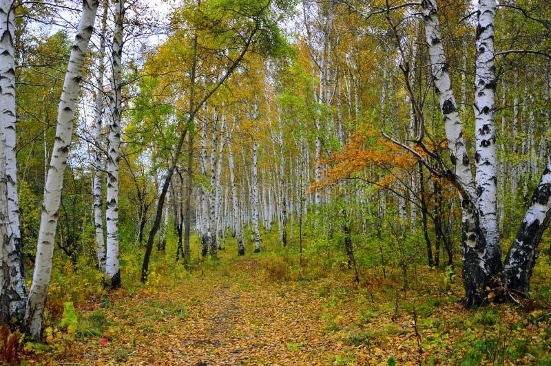 Boschetto della betulla in autunno immagine stock