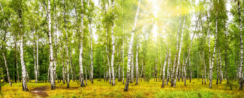 Boschetto della betulla con una strada il giorno di estate soleggiato fotografie stock libere da diritti