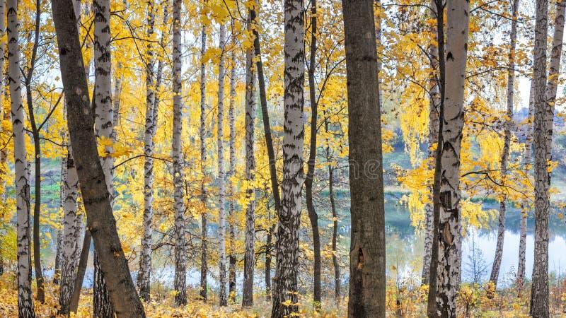 Boschetto della betulla contro il lago il giorno soleggiato di autunno fotografia stock