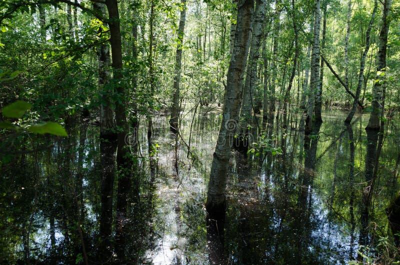 Boschetto della betulla di acqua sommersa un il giorno di estate soleggiato piacevole immagine stock libera da diritti