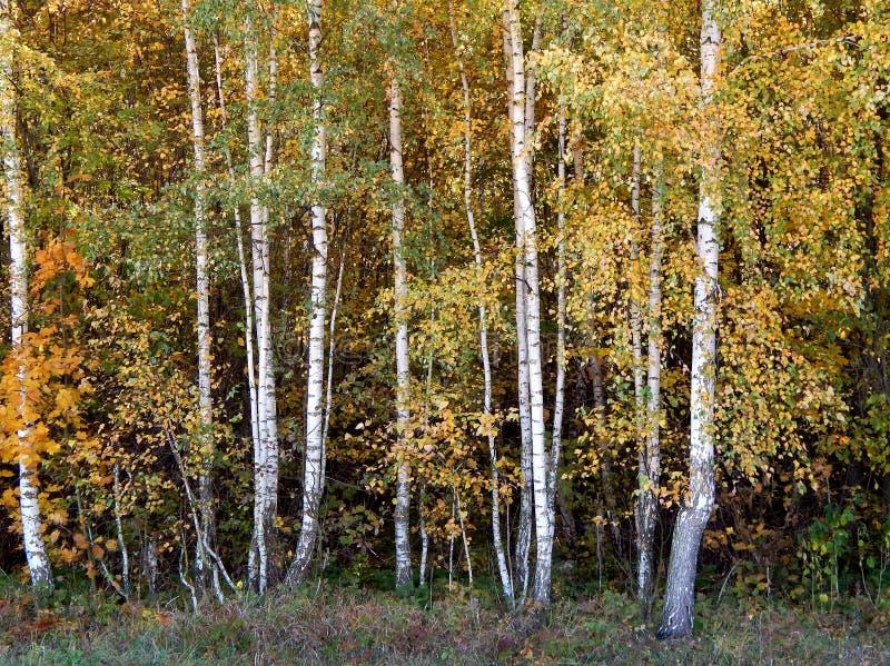 Boschetto della betulla di giovani alberi immagine stock libera da diritti