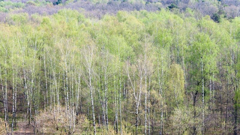 Boschetto della betulla in foresta con primo fogliame verde fotografia stock libera da diritti