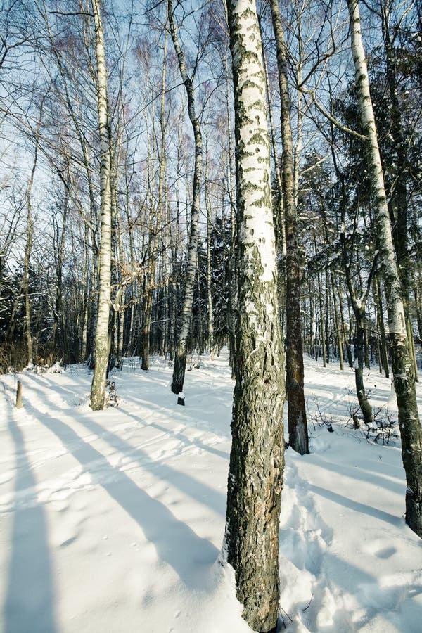 Boschetto della betulla in inverno fotografia stock libera da diritti