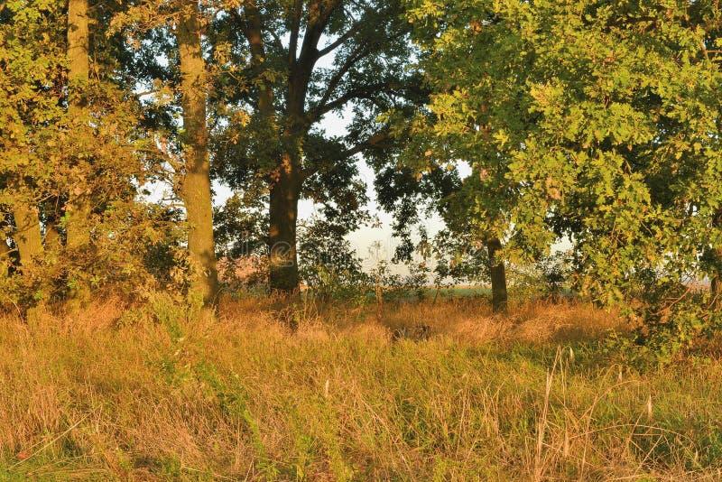 Boschetto della quercia nei raggi dell'alba immagine stock libera da diritti