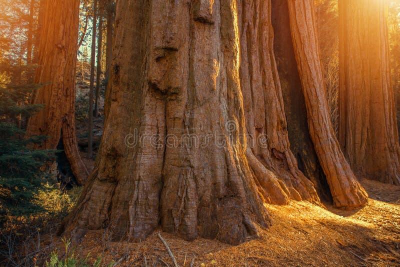 Boschetto delle sequoie giganti fotografia stock libera da diritti