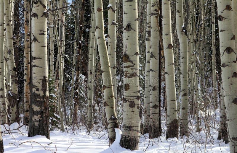 Boschetto di Aspen all'inverno tardo fotografie stock libere da diritti