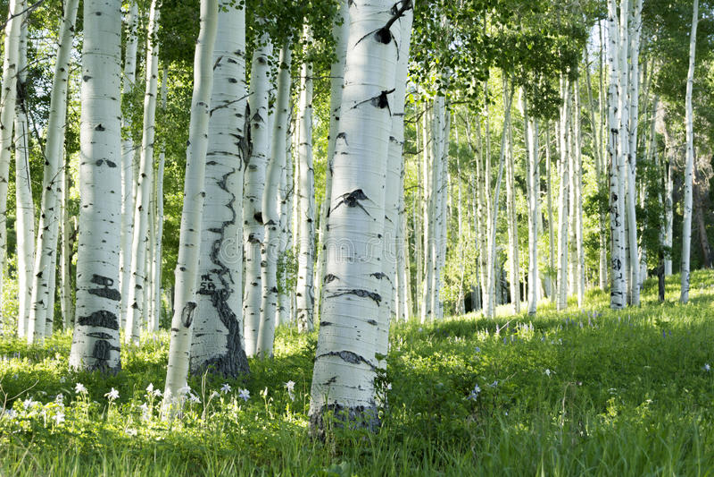 Boschetto di Aspen Trees e dei fiori di colombina in Vail Colorado fotografia stock libera da diritti