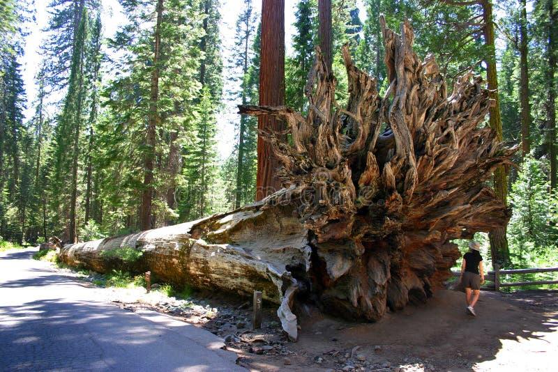 Boschetto di Mariposa, sosta nazionale del Yosemite immagine stock libera da diritti