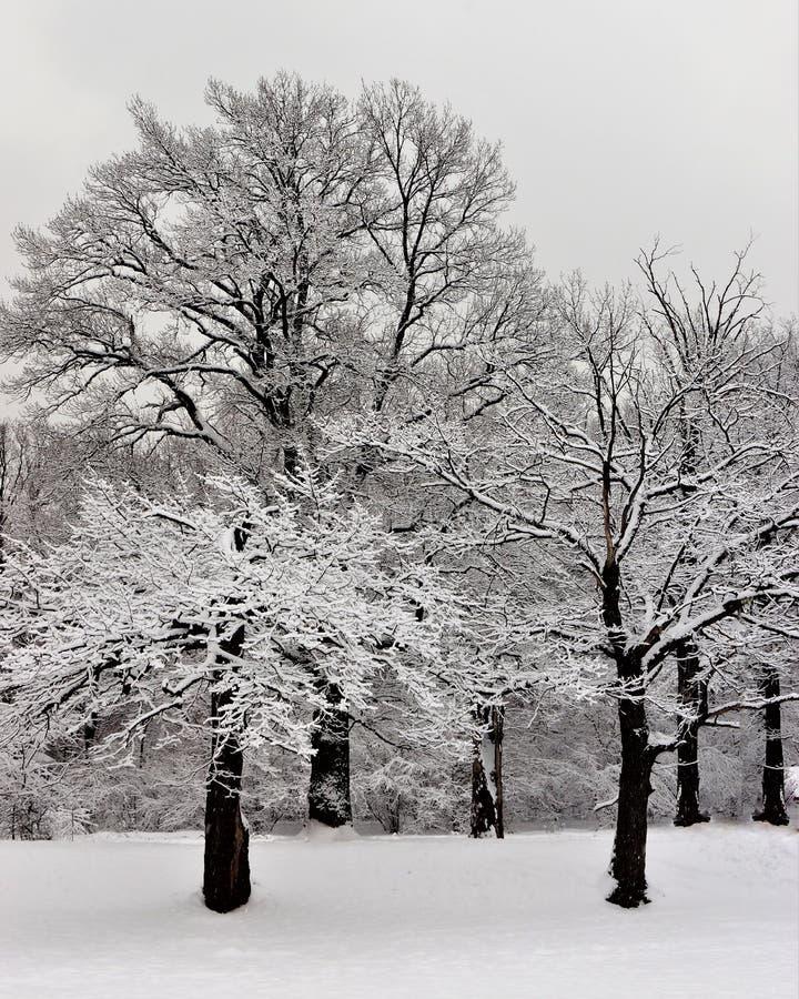 Boschetto innevato della quercia un giorno di inverno Paesaggio di inverno, foresta della quercia in neve lanuginosa Neve bianca  immagine stock libera da diritti