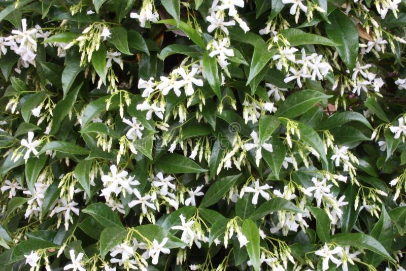 Boschetto o cespuglio di fioritura verde del gelsomino bianco fragrante fotografie stock