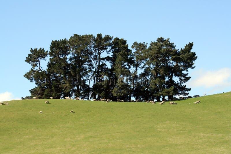 Bosco ceduo degli alberi immagini stock libere da diritti