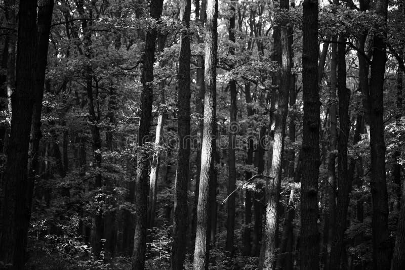 Bosco verde e frondoso in bianco e nero fotografia stock libera da diritti