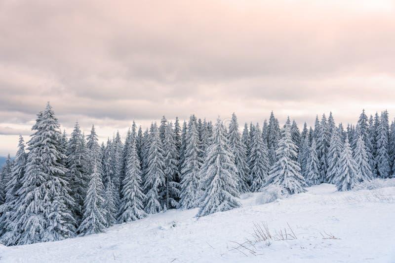 Bosdiepijnboombomen in de winter met sneeuw in avondzonlicht wordt behandeld stock afbeelding