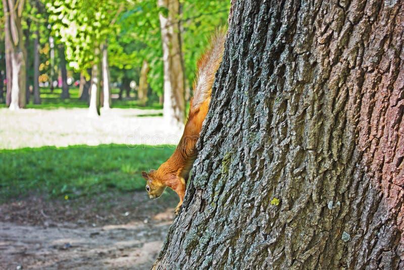 Boseekhoorn Rode Eekhoorn Eekhoorn De herfst De winter Bos stock foto