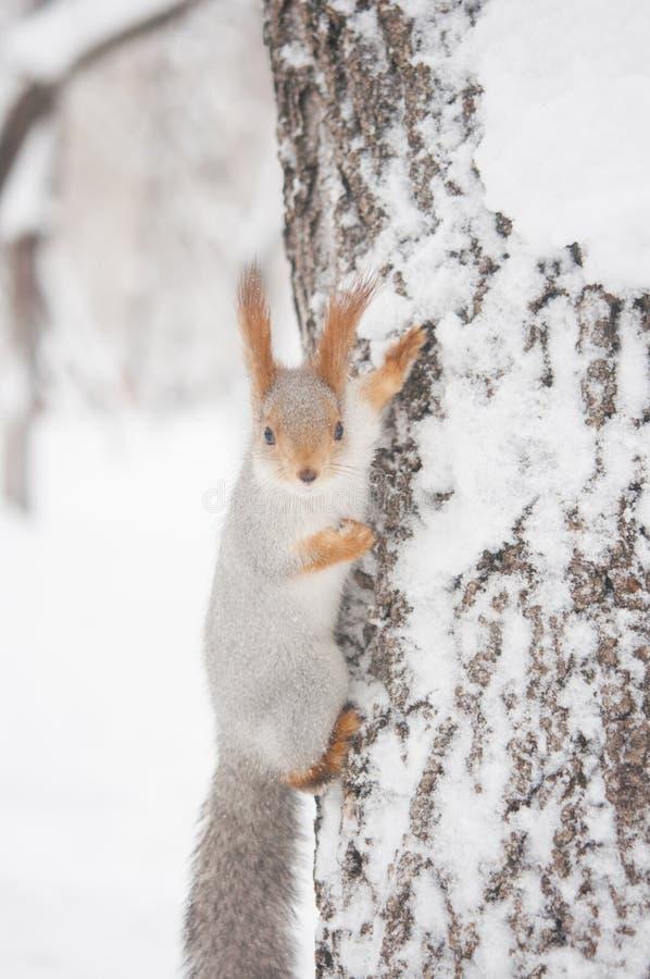 Boseekhoornzitting op een boomboomstam met sneeuwvlokken stock foto's