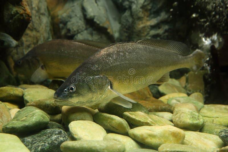 Bosesmania microlepis ryba obraz royalty free