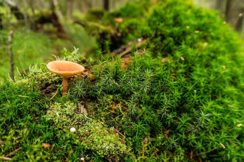 Bosgiftige paddestoelen in een reusachtig bos stock foto's