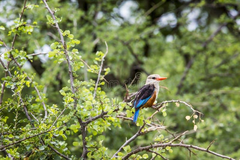 Bosijsvogel in het nationale park van Meermanyara, Tanzania royalty-vrije stock fotografie