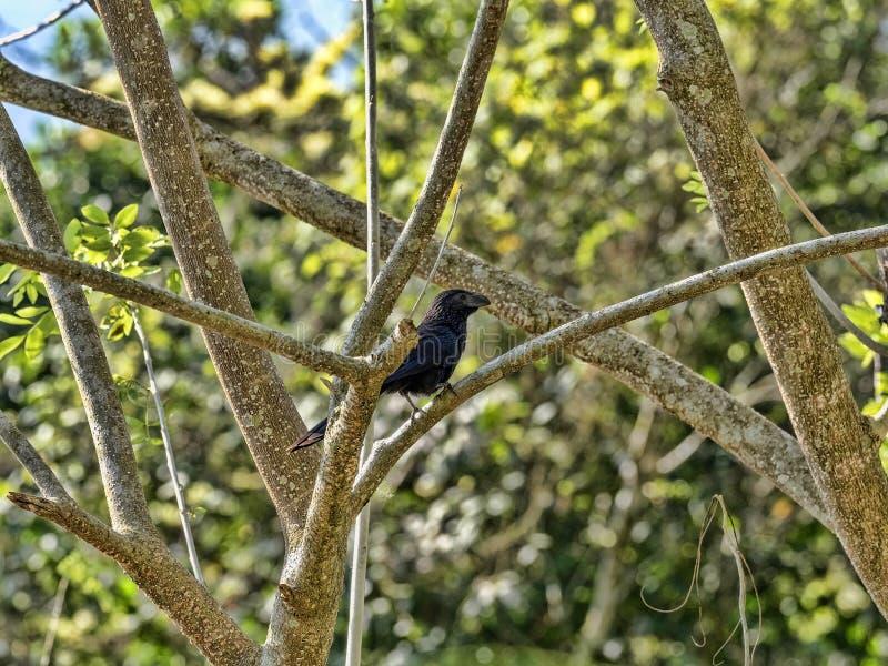 Bosje-gefactureerde ani, Crotophaga-sulcirostris, die op boomtakken zitten, Guatemala stock afbeelding