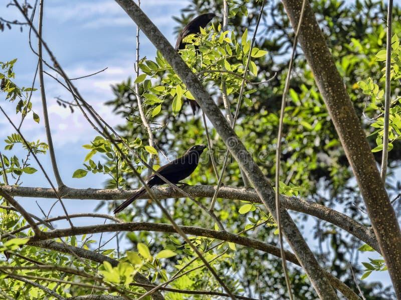 Bosje-gefactureerde ani, Crotophaga-sulcirostris, die op boomtakken zitten, Guatemala stock fotografie