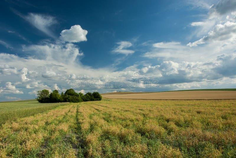Bosje op het gebied en wolken in de hemel stock afbeelding