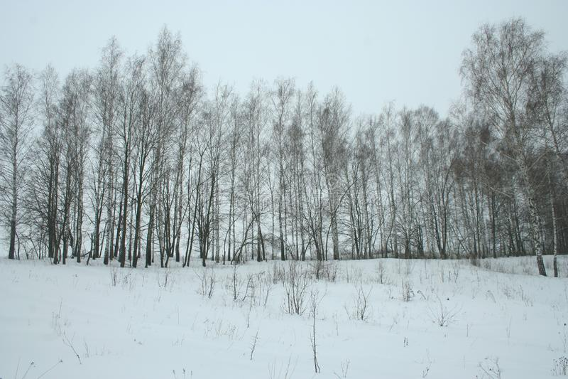 Bosje van de de winter het jonge berk stock afbeeldingen